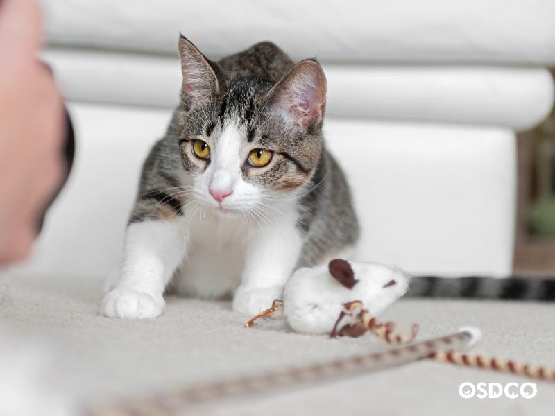 ฝึกลูกแมวให้มีพฤติกรรมที่เหมาะสม: